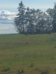 One of the infamous PEI foxes